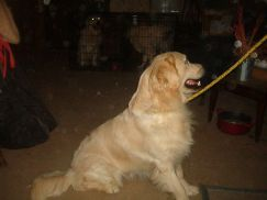 GABE IS ONE OF THE MOST BEAUTIFUL UP AND COMING IMPORTED ENGLISH GOLDENS IN THE US