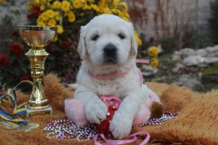 OUR STUNNING FOUNDATION BITCH AMORE VERITAS MALIBUE FOR ARDORGOLD, AT FIVE WEEKS, BRED BY ANASTASIA BOBCHENKO AND ELENA APAYCHEVA, UE, NOW DAM OF OUR PUPPIES
