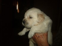 Puppy E - three weeks